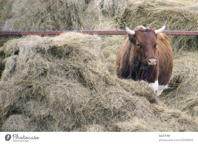 Cow, red coloured Agriculture Forestry Pet Farm animal 1 Animal Brown Gray Red White Bright red Hay To feed Antlers Looking Middle Feed Sufficient