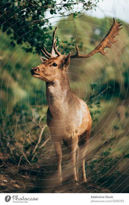 Elk standing in countryside Nature To feed Antlers Mammal Chew Wild Animal