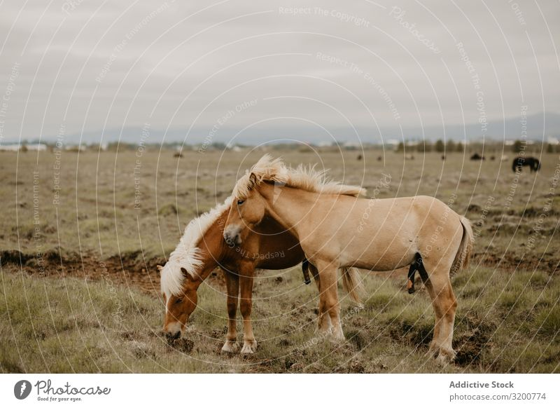 Horses grazing in dry field To feed Field Dry Grass Autumn Nature Pasture