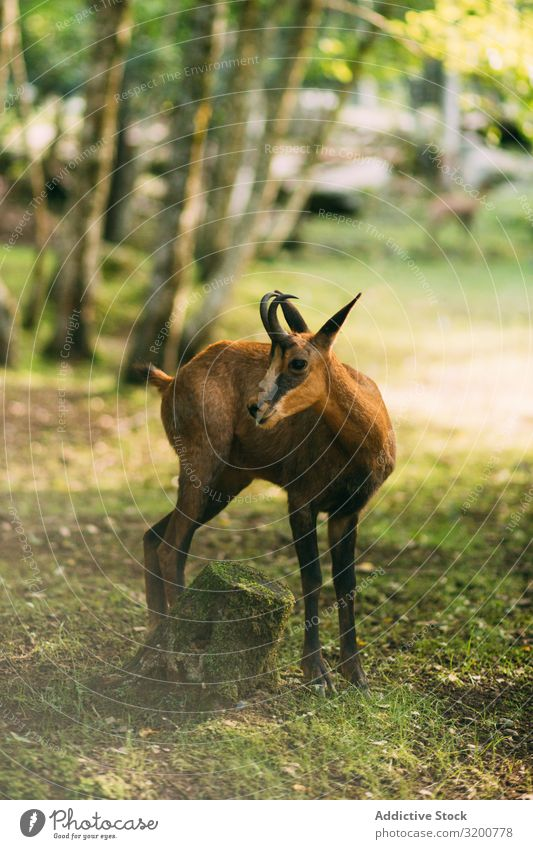 Young gazelle standing in forest Gazelle Forest Nature Wild Moss Sunbeam Day Youth (Young adults)