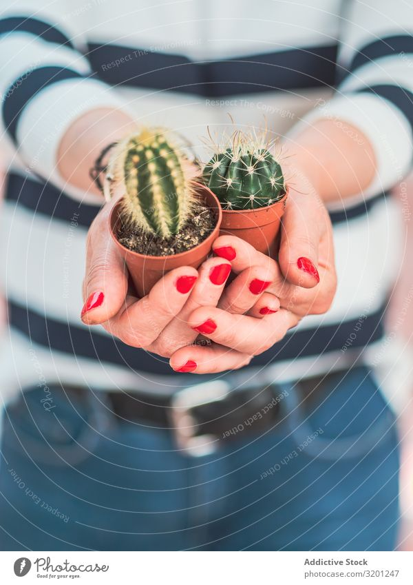 Female with small cacti in hands Cactus Plant Hand Woman Red Manicure Pot Houseplant spiky Adults Human being Hold Green Small Thorny Succulent plants Sharp