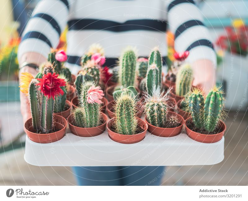 Female holding collection of green cacti Cactus Plant Pot Hand Woman Green Thorny Houseplant Blooming Succulent plants Human being Hold Leisure and hobbies