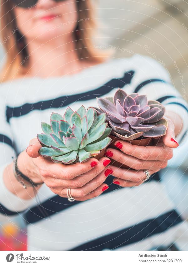 Female hands with beautiful gray succulent Cactus Plant echeveria Gray Hand Woman Succulent plants Flower potted Houseplant Adults Human being Manicure