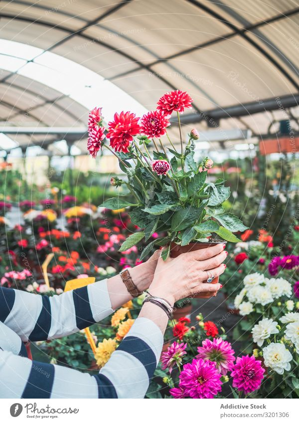 Female holding potted red flowers on market Flower Red Hand Chrysanthemum Blooming Woman Pot Greenhouse Markets Plant Adults Human being Hold Study Customer