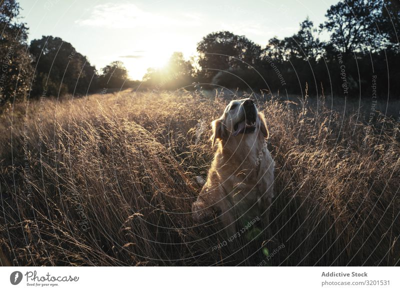 Dog sitting on field Field Sunset To go for a walk Love Animal Pet Grass Nature Friendship Considerate Sunlight Meadow Domestic Rural Mammal Landscape Purebred