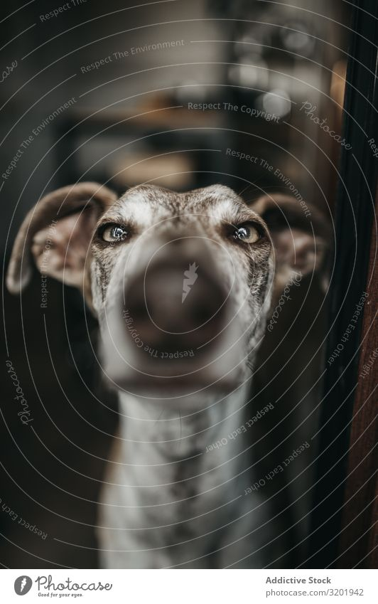 Funny greyhound looking out window Dog Window Greyhound Nose pressing Glass Strange Pet Home Animal Living thing Purebred Domestic Mammal Wait Deserted Loyal