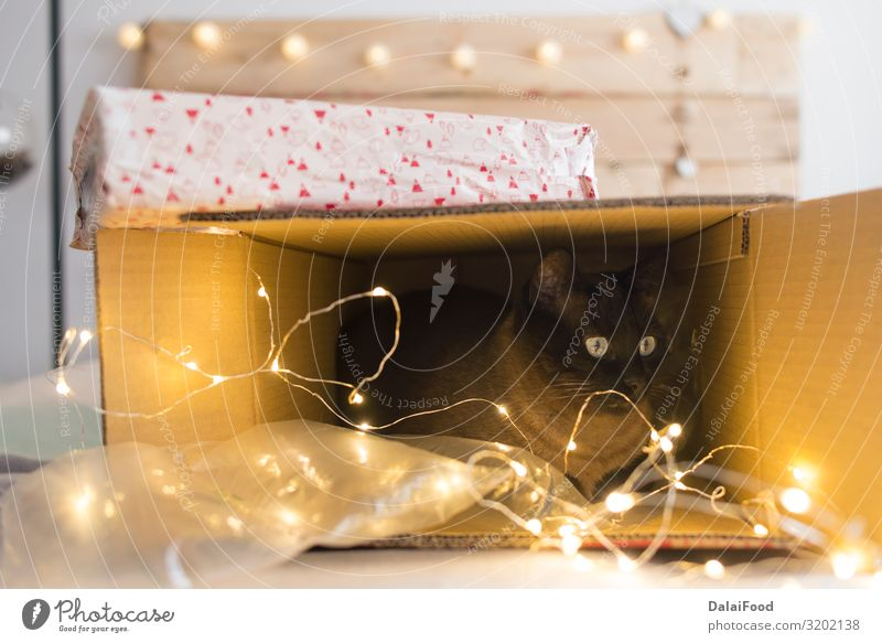 cat inside a christmas gift box with lights Happy Winter Decoration Feasts & Celebrations Christmas & Advent New Year's Eve Animal Pet Dog Cat Sleep Funny Cute
