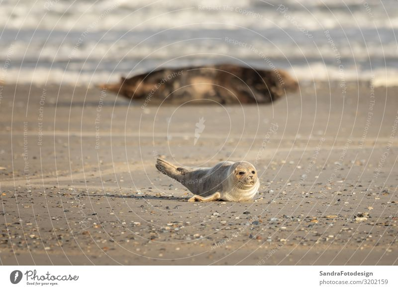 A grey seal lies on the beach on Helgoland Beach Nature Coast Animal Wild animal Baby animal Sand Water tideland Animal Themes cute Dunes Europe Germany