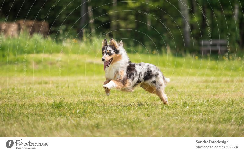 A beautiful Australian Shepherd plays outside in the meadow Summer Nature Park Animal Dog 1 Love of animals adorable animal photography beauty breed brown