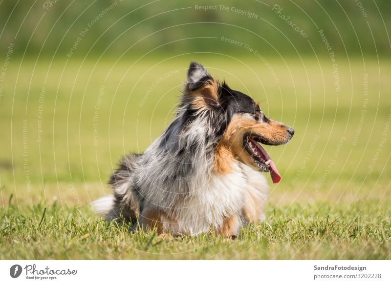 A beautiful Australian Shepherd plays outside in the meadow Summer Nature Park Animal Dog Love Joie de vivre (Vitality) Enthusiasm adorable animal photography