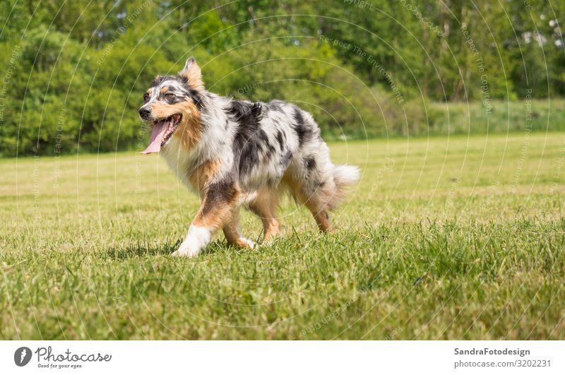 A beautiful Australian Shepherd plays outside in the meadow Pet Dog Love of animals adorable animal photography beauty breed brown canine companion curiosity