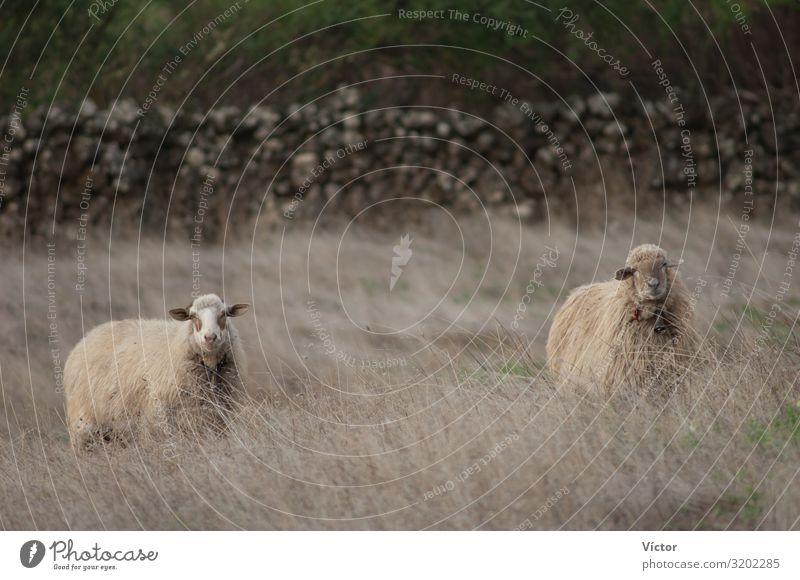 Sheep (Ovis aries). Valverde. El Hierro. Canary Islands. Spain. Animal Grass Farm animal Nature animals Canaries Domestic domesticated dry fauna herbs livestock