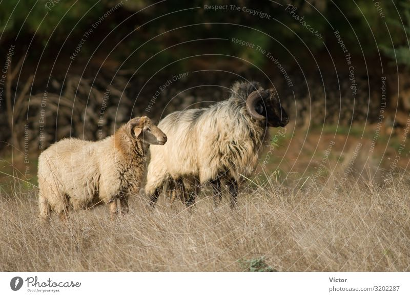 Sheep (Ovis aries). Valverde. El Hierro. Canary Islands. Spain. Animal Farm animal 2 Pair of animals Nature Canaries Domestic domesticated fauna livestock