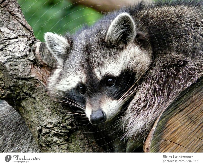 CY Nature Animal Wild animal Zoo Raccoon 1 Observe Hang Crouch Looking Wait Natural Mammal neozoon Land-based carnivore Watchfulness eyes Relaxation nocturnal