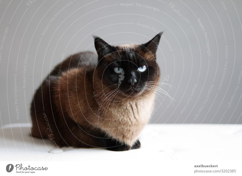 Siamese Thai cat Seal Point Relaxation Animal Pet Cat 1 Lie Sit Brown Domestic cat purebred cat Siamese cat Thailand cat breed seal point Colour photo