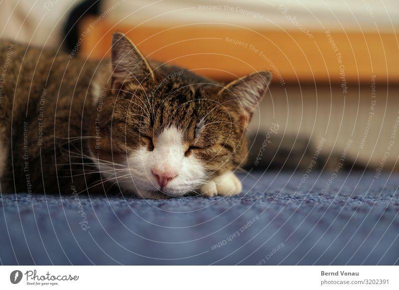 winter sleep cap Animal Cat 1 Sleep Idyll Domestic cat Whisker Ear Carpet Peaceful Break Nose Pelt Blue Brown House (Residential Structure) Room Ground Cute Pet