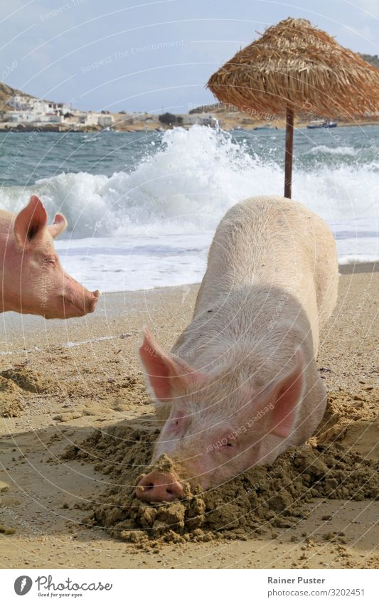 Two pigs on the beach of Mykonos Well-being Contentment Cure Spa Swimming & Bathing Retirement Coast Beach Ocean Greece Animal Farm animal Swine 2 Relaxation