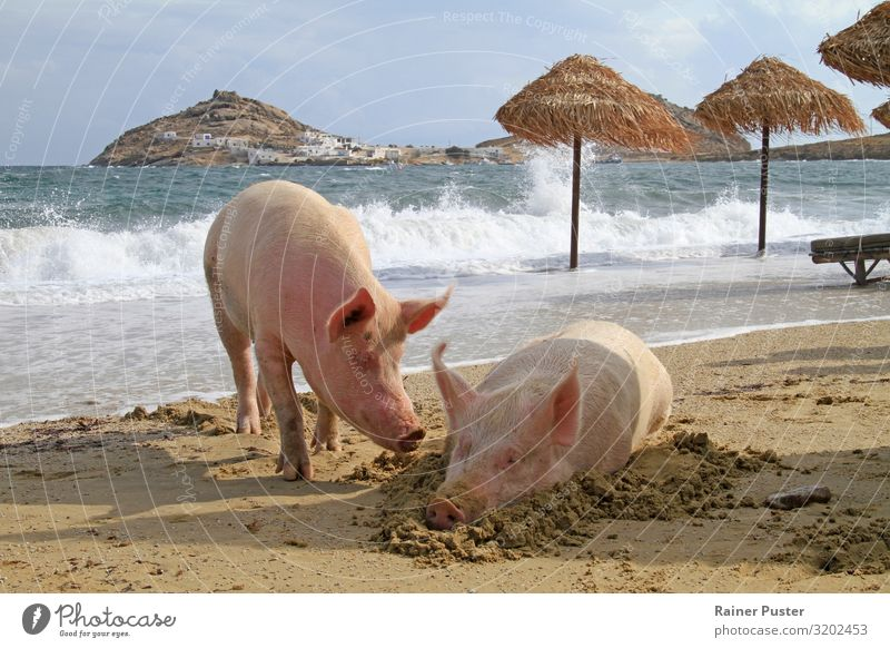 Two pigs relax on the beach Wellness Harmonious Contentment Relaxation Calm Cure Spa Vacation & Travel Summer Summer vacation Sunbathing Beach Ocean Retirement