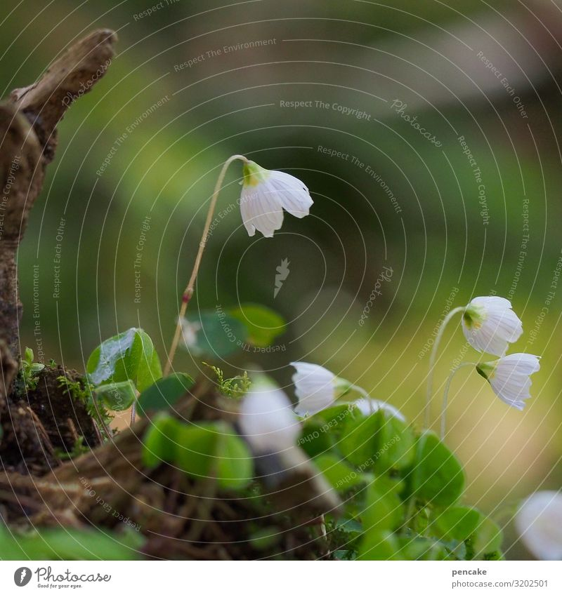 Nature Plant Beautiful White Flower Forest Healthy Blossom Spring Fresh Growth Blossoming Elements Climate change Sorrel