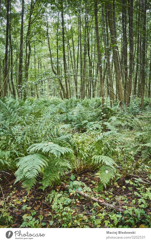 Ferns in dense primeval forest Environment Nature Plant Tree Bushes Wild plant Forest Natural Green fern Primitive times Wilderness Seasons deep forest