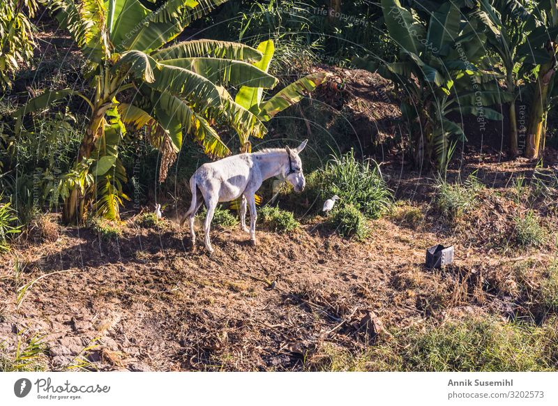 Donkey stands on the banks of the Nile in front of a banana plantation. Nature Landscape Plant Earth Climate Foliage plant Agricultural crop Banana tree River