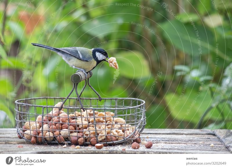 Great tit with walnut in its beak squats on wire baskets Walnut Hazelnut Nut Bench Bushes Garden Animal Wild animal Bird Tit mouse 1 Feeding Crouch Brown Yellow
