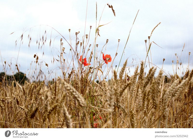 Poppies in the cornfield in front of dark clouds Food Nutrition Country life Thanksgiving Agriculture Forestry Environment Nature Landscape Plant Clouds Flower