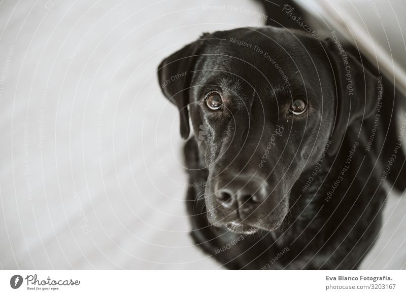 Beautiful black labrador waiting to eat his meal. Home, indoor Portrait photograph Dog Lunch House (Residential Structure) retriever Diet Eating Purebred Heap