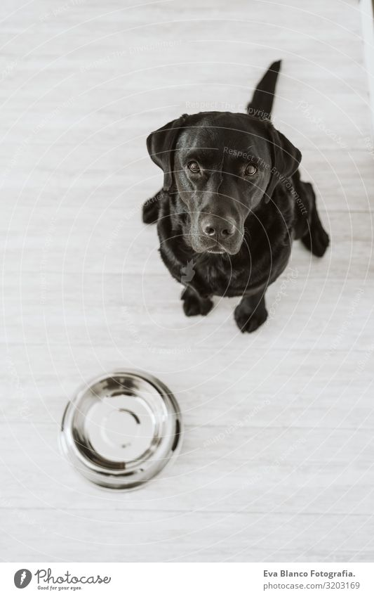 Beautiful black labrador waiting to eat his meal. Home, indoor Dog Lunch House (Residential Structure) retriever Diet Eating Purebred Heap Animal Healthy