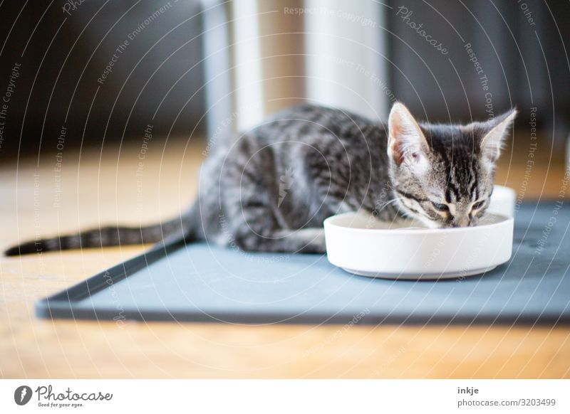 drink water Drinking Pet Cat 1 Animal Baby animal Food bowl To feed Authentic Small Cute Thirsty Colour photo Interior shot Close-up Deserted Copy Space bottom