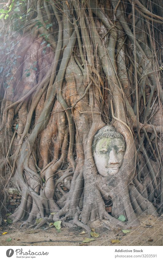 Buddha face covered with tree roots Tree Root Statue Overgrown Ancient Sculpture Cover Hide Thailand Stone Old Religion and faith Growth Life Temple Head