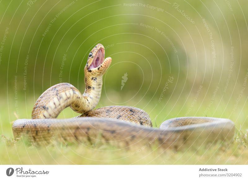 Python snake curled on ground Snake python Royal Reptiles serpent wildlife Animal predator Wild Spotted Lie (Untruth) Beautiful Tropical ball python regius
