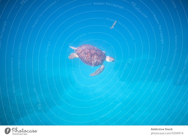 Water turtle swimming in blue depth in water Turtle Delightful Beautiful Inspiration Turquoise Natural Nature Ocean Clear Under Bottom marine Underwater photo