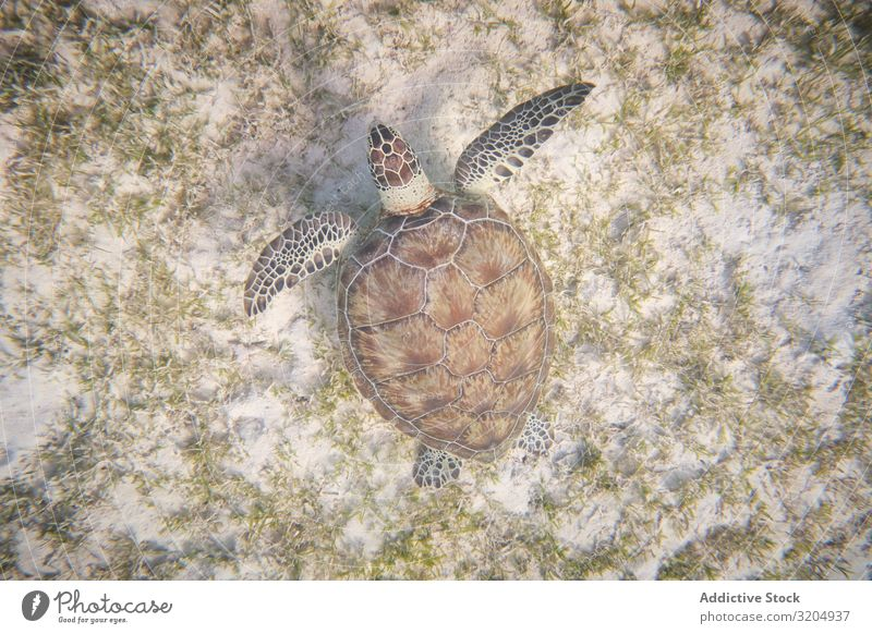 Water turtle swimming in blue depth in water Turtle Swimming Delightful Beautiful Inspiration Turquoise Natural Nature Ocean Clear Under Bottom marine