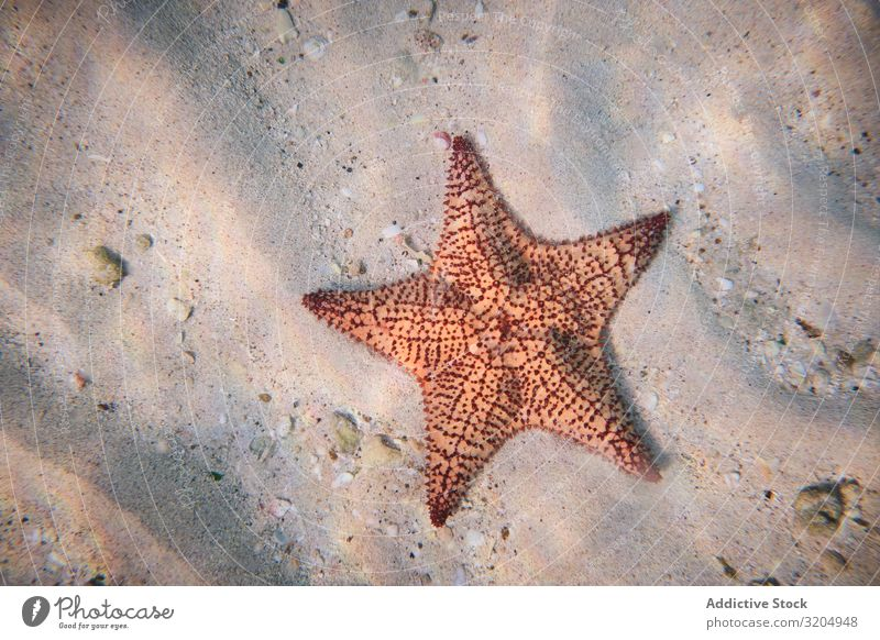Red bubble starfish on sandy depth under clear water Starfish Beautiful Natural Water Nature Ocean Clear Under Bottom marine Underwater photo Delightful Light