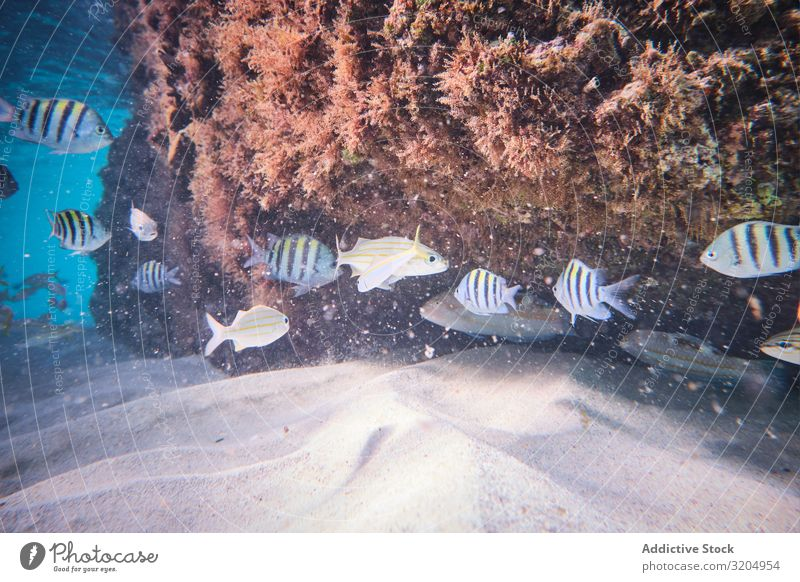 Striped fishes swimming on sandy depth in coral vegetation Fish Coral Dive Delightful Beautiful Turquoise Colony Natural Water Nature Ocean Clear Under Bottom