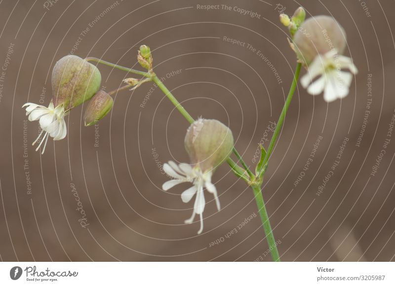 Flowers of bladder campion (Silene vulgaris). Valverde. El Hierro. Canary Islands. Spain. Nature Plant Blossoming Natural Wild biodiversity Botany Canaries
