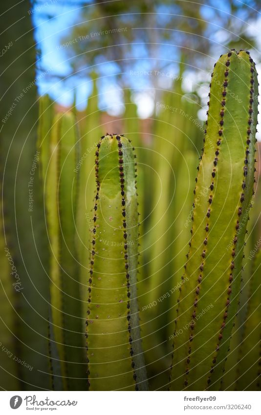 detail of a green cactus with more of them on the background Design Exotic Beautiful Life Garden Decoration Nature Plant Sand Flower Cactus Leaf Wild plant