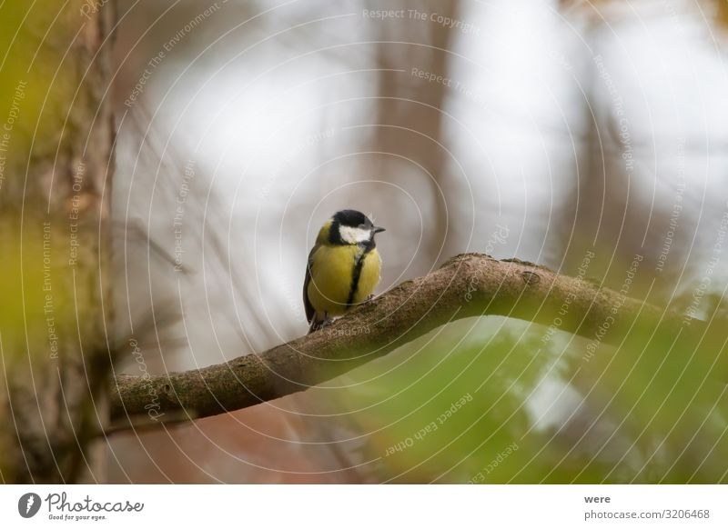 great tit on a branch in the forest Winter Nature Animal Bird Small Coal titre Parus Ater Periparus Ater winter bird bird feeding Branch of business branches