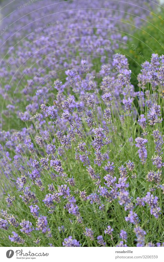 it smells like...  | Lavender Lavender field Plant blossom purple lilac Nature Natural flora Environmental protection ecology Fragrance Odor out fields