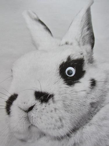 dwarf pinto Animal Pet Animal face Hare & Rabbit & Bunny 1 Children's eyes Looking Cuddly Cute Black White Emotions Love of animals Responsibility Nature Pelt