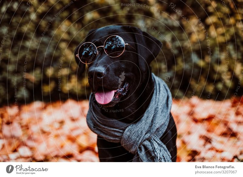 beautiful black labrador sitting outdoors on brown leaves background, wearing a grey scarf and sunglasses. Autumn season Dog Labrador Black Pet Exterior shot