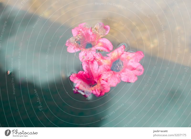 Flowers on water Beautiful Relaxation Blossom Small Swimming & Bathing Pink Moody Contentment Esthetic Idyll Romance Blossoming Transience Climate Simple