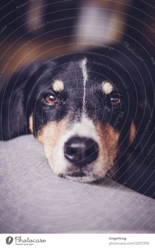 Appenzeller Sennenhund looks into the camera more appetizing Appenzell Mountain Dog eyes portrait animal portrait Cute dear snuggled cuddle Love Love of animals