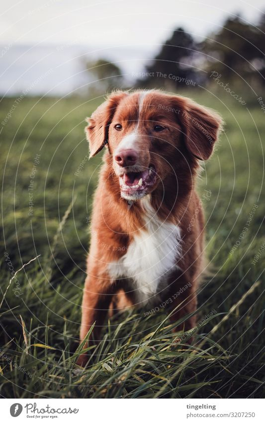 Toller in the field Nature Landscape Autumn Lawn Meadow Field Animal Pet Dog 1 Observe Smiling Free Cute Brown Green Red White