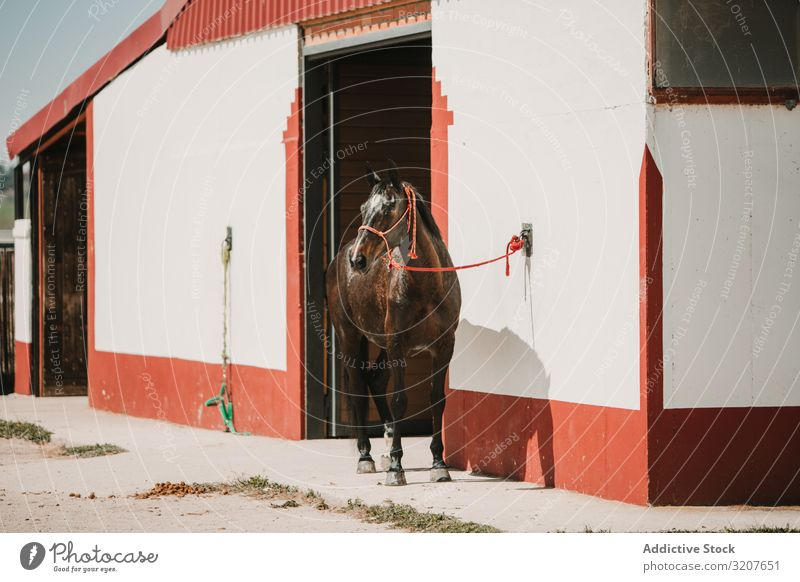 Horse at entrance to stable in sunlight horse ranch harness equine leash equestrian mammal animal farm paddock summer sport chestnut beautiful brown countryside