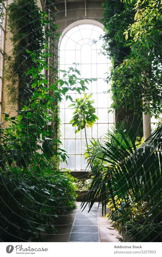 Interior of greenhouse with lush foliage old scotland arched conservatory window interior sunlight garden tree glass plant glasshouse summer architecture botany