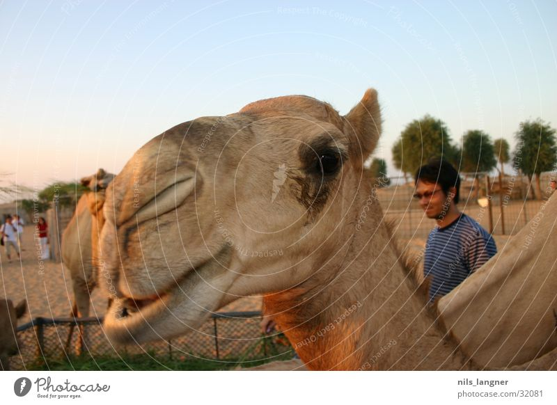 Camels in Dubai 2 Close-up Sky Grinning Desert