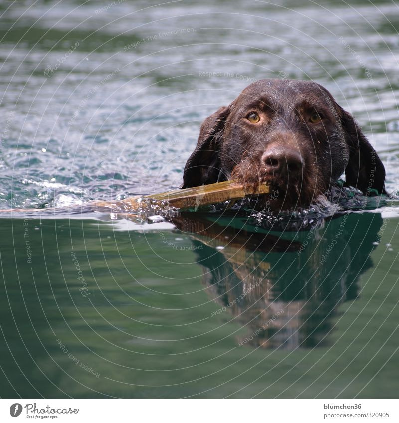 water sports Hunting Animal Pet Dog Animal face Pelt German wire hair Hound 1 Movement To hold on Listening Swimming & Bathing Friendliness Wet Athletic Trust