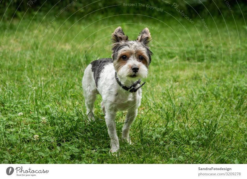 A little terrier with short hair out in the meadow Nature Grass Meadow Animal Dog 1 Walking Love adorable adorable animal Animal Themes beautiful breed canine